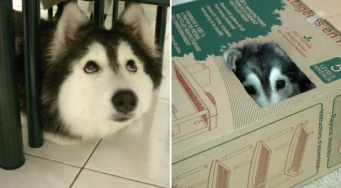 This Cute husky was raised by cats and acts exactly like a cat. It's just too cute to be true!