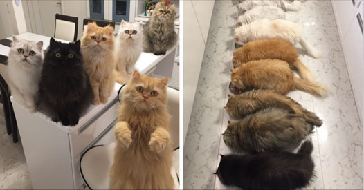 """12 Cats Lady"" Is Exploding Instagram With Her Twelve Persians I love it"