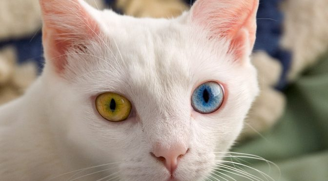 Interesting Facts about Odd-eyed cat