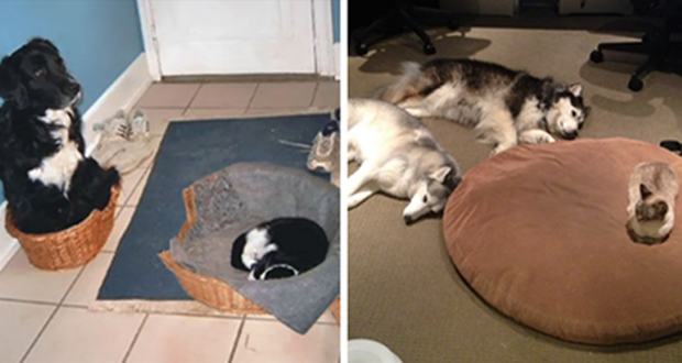 15+ Bad Ass Cats Who Stole Dogs Bed And Didn't Give A Damn About It.