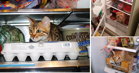 33 adorable and daring cats chilling in the fridge